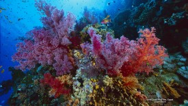 Soft Coral, Red Sea, Egypt